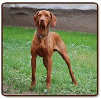 If You Have A Vizsla That Has Aggression Or Anxiety Then We Suggest Contact Behaviorist And Consultant With Your Veterinarian