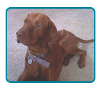 Southern California Vizsla Rescue - Available Adoptions - Buddy