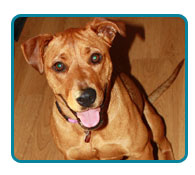 Southern California Vizsla Rescue - Available Adoptions - Cinnamon