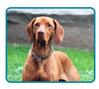 Southern California Vizsla Rescue - Available Adoptions - Cooper
