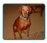Southern California Vizsla Rescue - Available Adoptions - Copper