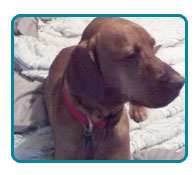 Southern California Vizsla Rescue - Available Adoptions - DaVinci