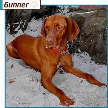 Vizsla Rescue Dogs Available