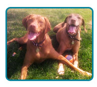 Southern California Vizsla Rescue - Available Adoptions - Lincoln & Nelson