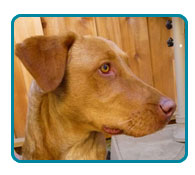 Southern California Vizsla Rescue - Available Adoptions - Lucy