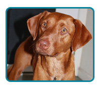 Southern California Vizsla Rescue - Available Adoptions - Minnie