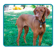 Southern California Vizsla Rescue - Available Adoptions - Sienna