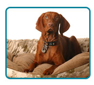 Southern California Vizsla Rescue - Available Adoptions - Tula