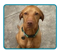 Southern California Vizsla Rescue - Available Adoptions - Valcore